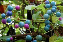 Berry Vines