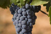 Wine Harvest in Portugal