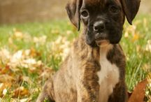 Boxers / The dogs who have my heart and childhood  / by Rachel Naramore