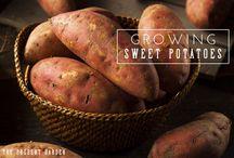 Tips for Growing Sweet Potatoes / Board dedicated to the world of growing sweet potatoes!