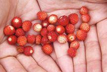 Mat fra naturen / Alt er ikke ugress, det er mye spennende å finne i vår natur!