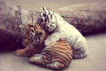 tigre et tigre blanc