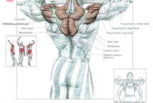 Anatomia muscolare