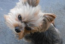 The Life of Leo Blom The Yorkie / Snapshots of Leo the Yorkshire Terrier