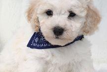 Maltipoo.DK / Maltipoo Er et populært Mix af Tecup Malteser og Toy Puddel, Lille allergivenlig hund der ikke fælder, vægt ca. 2-4 kg en rigtig Kendishund