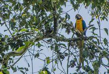 Birds / Bird species found in the Manu Biosphere Reserve!