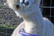 Do you like alpaca ? Do you think it's so cute ?
