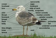 Gullidentification