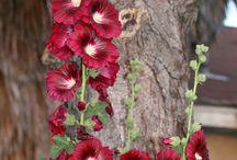 Garden~HOLLYHOCKS~My favorite flower! / by Janet Rollins