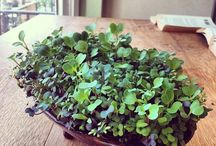 Microgreens in the Home