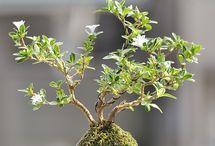 Bonsai / bonsai