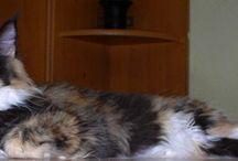 Mainské mývalí kočičky / Naši miláčkové ...