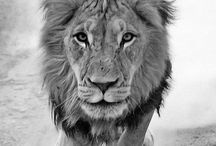 Lion, The King / The king of animals and an inspiration to humans