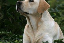 Yellow Labradors / Yellow labradors