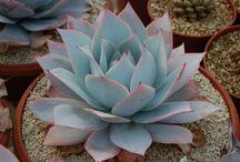 Echeveria & crassulaceae