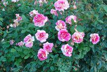 Grow: Roses