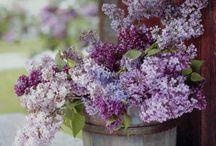 Colour: Lavender