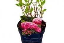 Tuinplanten / Hortensia pink Annabelle invincible