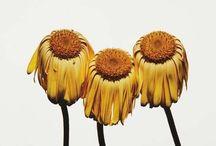 Irving Penn, Flowers