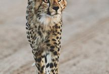Cheetah Gallery