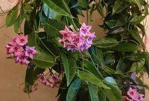 Hoya mum çiçeği