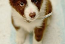 BROWN/RED & WHITE BORDER COLLIES