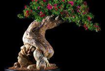 "Bonsai or bonzai  / Bonsai or bonzai (from Japanese 盆栽, bonsai, Chinese 盆栽, pénzāi or pinyin 盆景, pénjǐng ""landscape in a pot"")  is, in Japanese tradition, tree or plant in pot, plantings in tray, literally bon, 盆 cup or plate and  栽 sai, plant. ---- Bonsaï, ou bonzaï (du japonais 盆栽, bonsai, du chinois 盆栽, pénzāi ou pinyin 盆景, pénjǐng, « paysage en pot »),   est, dans tradition japonaise, un arbre ou une plante dans un pot; littéralement 盆 bon, coupe ou plateau et 栽 sai, plante."