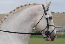 Irish Draught Horse