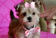 Yorkie's / Yorkshire Terriers ... different grooming styles