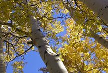 Aspen Trees / Need help identifying a tree? Dreaming of your dream garden or landscaping project? Or are you simply just in love with the effortless elegance of aspen trees? We've got you covered.