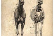 Anatomia Zwierzat