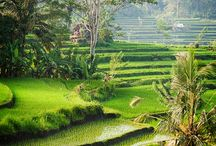 Best Paddy Fields Scenery in BALI / These are some best pictures of rice fields that we select to show how beautiful they are.