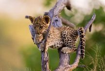 Leopard / by Adri McDonald