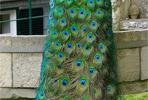 Peacock / by Fiona Greenwood