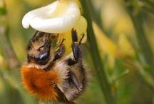 Bienen, Hummeln und andere Bestäube