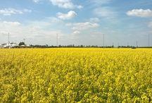 Landscape / Yellow field near Verona, Italy