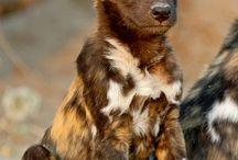 vahşi afrika köpeği