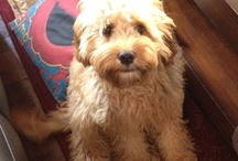 Cavoodle Luv