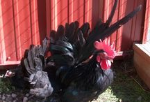 Black Japanese Bantam