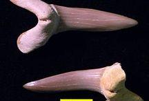 haaientanden - shark teeth - dents de requin - Haifischzahnen / op het strand van Cadzand!