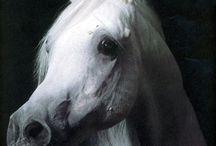My favourite Arabians
