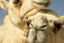 Camels Camels Camels! / Camels