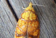 Butterflies/moths / Norwegian butterflies and moths