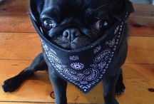 PUG £IFE / I want one so bad...