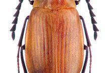alleculidae