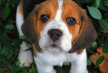 Beagles cutie