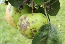 Ogród choroby drzew owocowych i krzewów