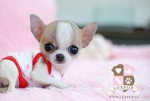 Cute Chihuahua...♡