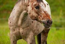 HORSES, DONKEY'S ZEBRA'S