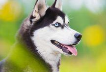 Husky Siberiano <3